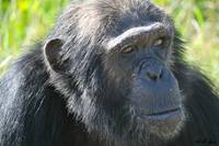 Sweetwaters Chimp