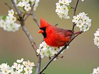 Red Cardinal Bird Sits Amongst Pear Tree Blossoms