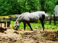 Appaloosa Eating Hay