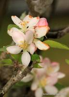Apple Tree Blossum