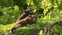 Two Bear Cubs Playing In The Grass