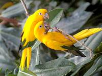 Yellow Parrots Perched On A Tree