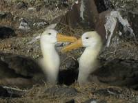 A pair of Albatrosses