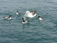 Little Chicks Float On Water With Mommy Albatross