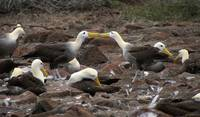 Pair Of Albatrosses Kissing In Crowd