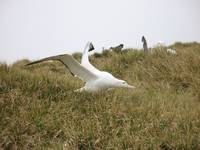 Powerful Wandering Albatross In Wild Grass