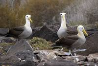 Three Waved Albatrosses