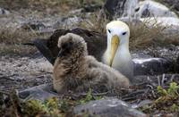 Waved Albatross With Two Holes On Beak
