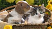 Adorable Puppy Nibbles On Grey Tabby Kitten's Ear