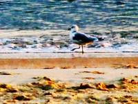 Seagull on Virginia Beach at Dawn