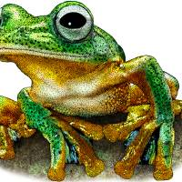 Javan Gliding Frog Art Prints & Posters by Roger Hall