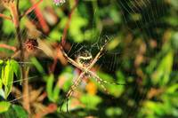 Orb Weaver Spider in Cotacachi