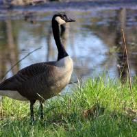 Canada Goose by Karen Adams