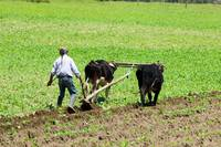 Using Oxen to Plow a Field