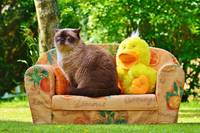 Cat sitting on couch with Duck