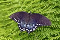 Spicebush Swallowtail Butterfly - Papilio troilus
