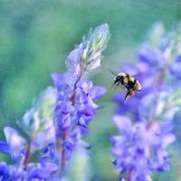 Lupine and bumblebee