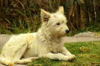 White Shaggy Dog