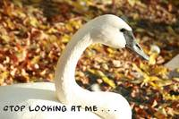 Stop Looking At Me Swan