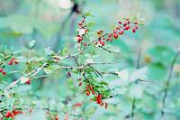 Pastel Barberry Shrub and Berries In Autumn