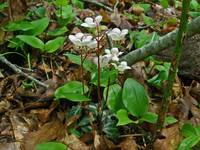 Pipsissewa Striped Wintergreen Chimaphila maculata