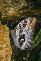 Large Butterfly on a Rock
