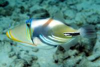Maledivian Picasso Triggerfish