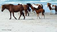 Assateague 4