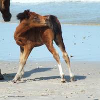 Assateague Foal