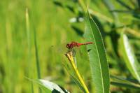 Red Dragonfly on a Plant