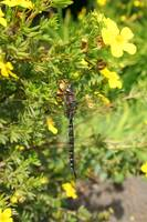 Dragonfly with Yellow Flowers
