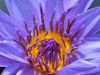 Purple Water Lily, in Close