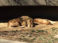 African Lions 20150117_114a