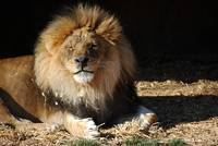 African Lion 20150117_384a