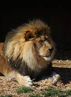 African Lion 20150117_389a