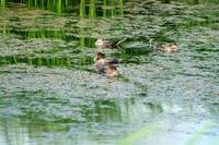 Mergansers in a Pond