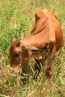 Young Calf with Horns