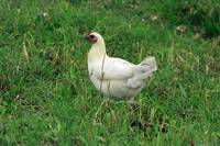 White Chicken in a Field