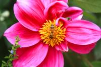Honey Bee on a Purple Flower