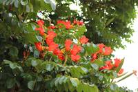 Red Flower Blossoms on a Tree