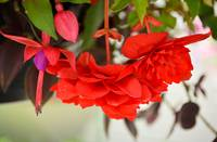 Begonias and Fuschia