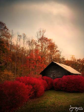 Barn with Red Bushes