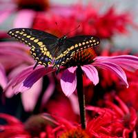 Black Swallowtai lButterfly on Coneflower Square