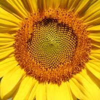 Yellow Sunflower by Karen Adams