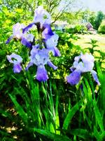 Purple Irises in the Suburbs