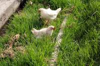 White Chickens in a Yard