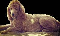 RUDY, RED POODLE