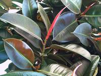 Rubber Tree 2