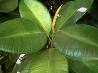 Rubber Tree 7