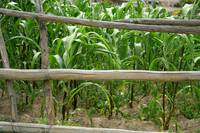 Rail Fence beside Corn Field